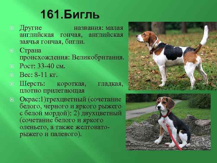 Бигля (63 фото): описание породы и характера взрослой собаки и щенка. сколько живут бигли? отзывы владельцев