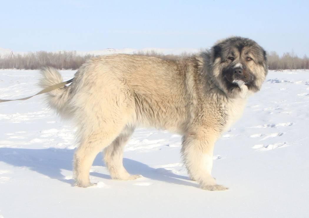 Кавказская овчарка – преданный охранник с внешностью плюшевого медведя