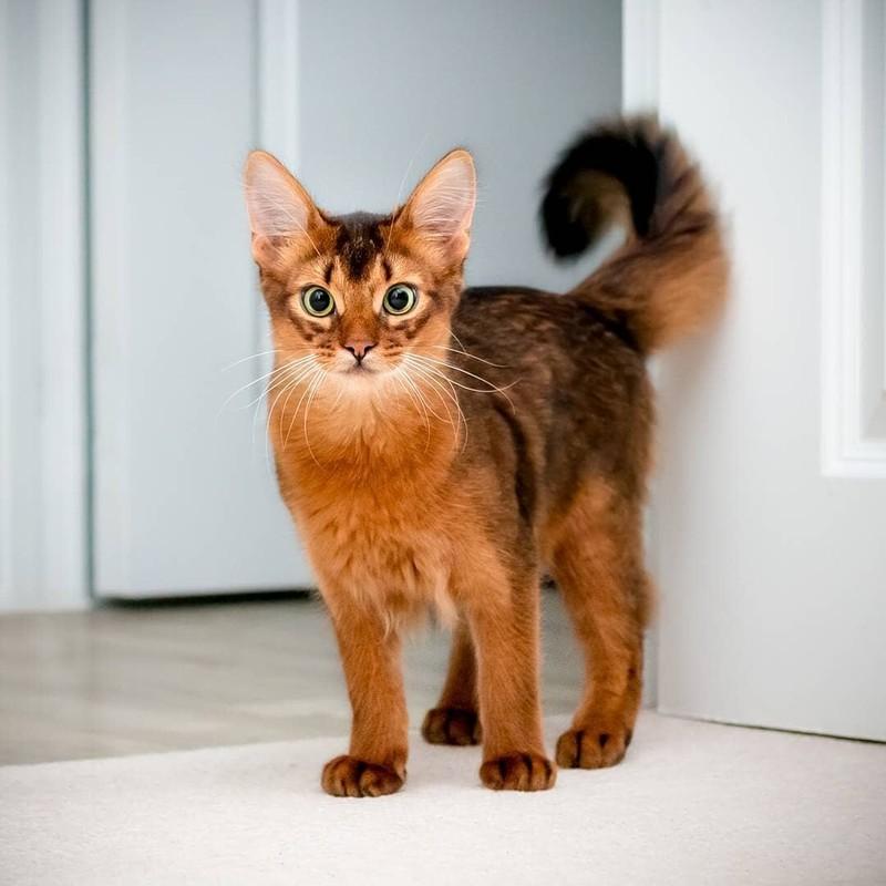 Тонкинская кошка (тонкинез) — плюсы и минусы породы: характер, содержание, уход, возможные болезни