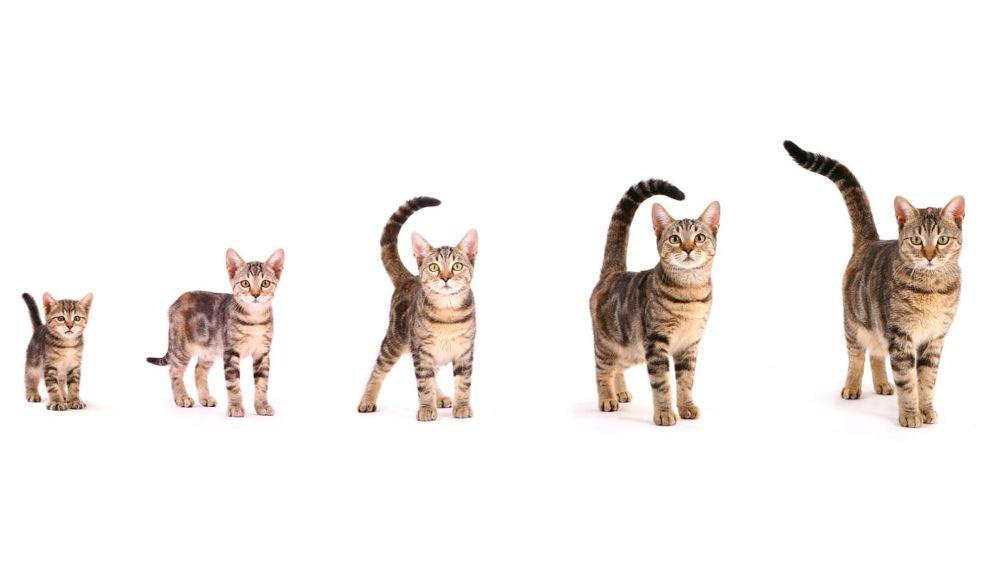 По каким признакам можно определить возраст котенка?