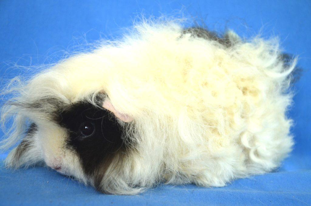 Морская свинка белая: какие бывают породы домашних грызунов