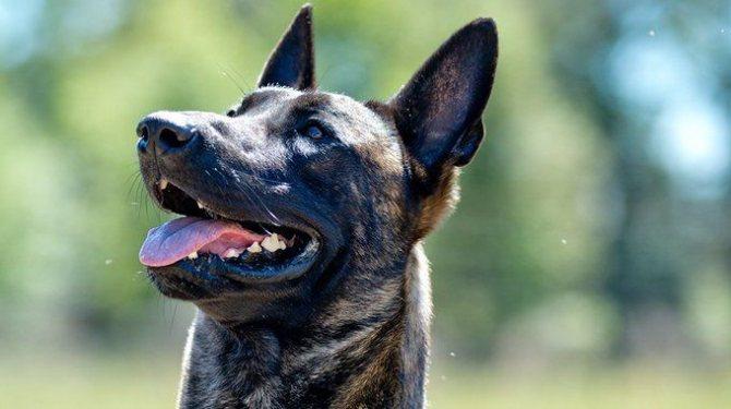 ᐉ у какой породы собак самый сильный прикус? - zoomanji.ru