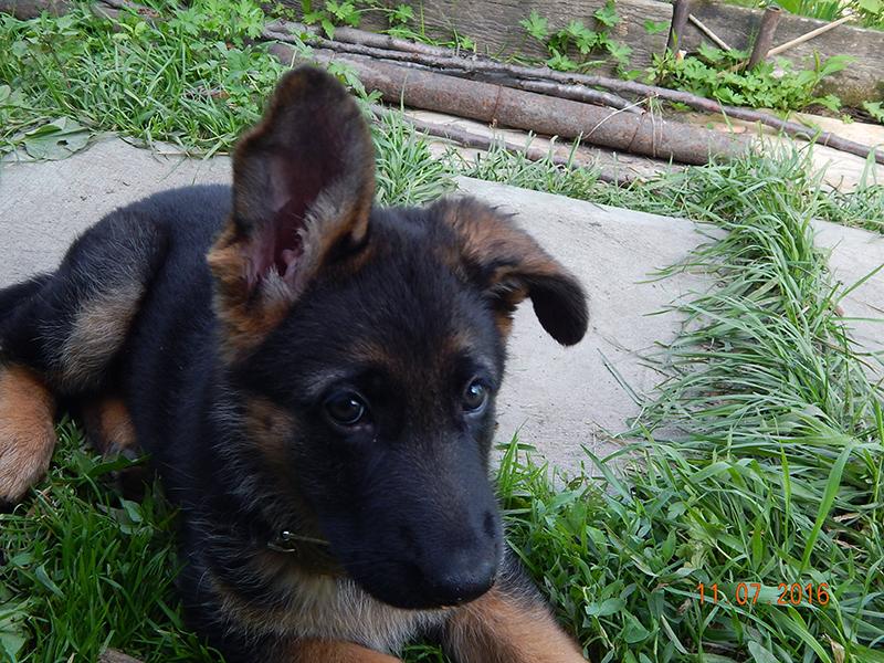 Как поставить непослушные уши у щенка немецкой овчарки