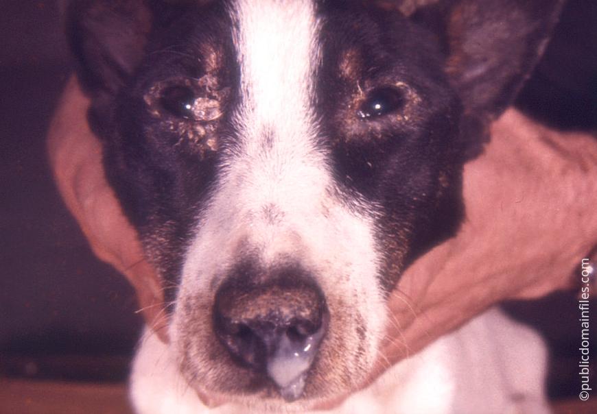"""Чумка у собак, причины появления, симптомы и лечение   блог ветклиники """"беланта"""""""