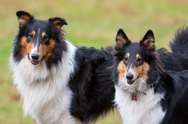 Шотландская овчарка (колли) – все о породе от а до я