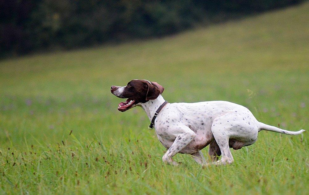 Английский пойнтер — порода собак