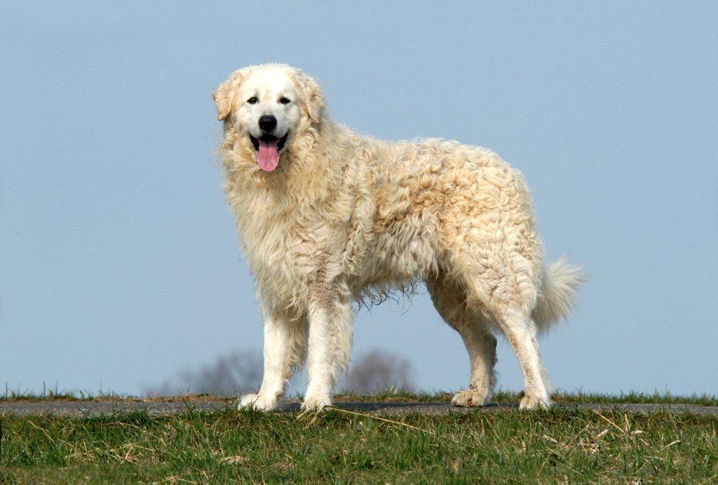 Кувас: описание породы собак, темперамент, уход