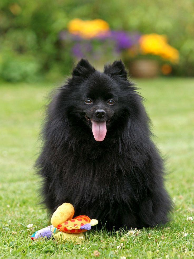 Немецкий шпиц: фото и описание породы собак, стандарт, характер немецкий шпиц: фото и описание породы собак, стандарт, характер