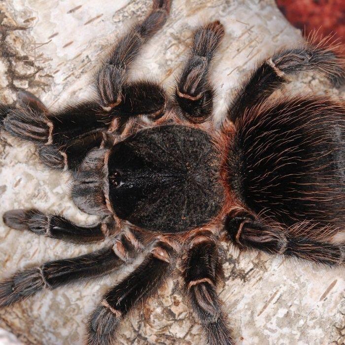 Паук-птицеед описание видов паука птицееда