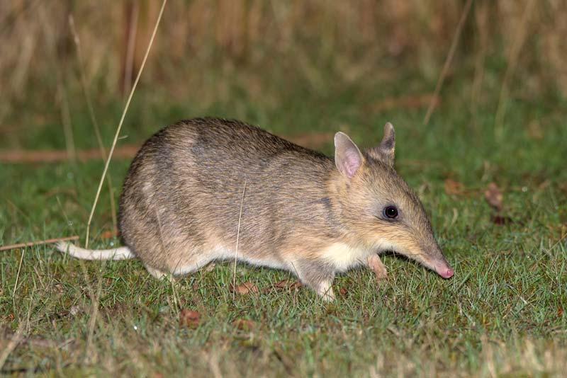 Малый кроличий бандикут. вид: macrotis leucura = малый кроличий бандикут. кроличий бандикут, ушастый сумчатый барсук, обыкновенный билби. малый кроличий бандикут. thylacomyidae = кроличьи бандикуты