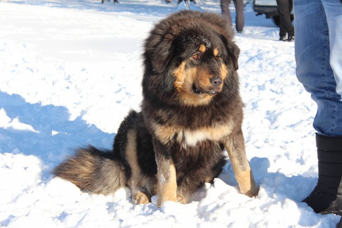 Монгольская овчарка (банхар) — фото, описание породы собак, характер, особенности ухода и содержания