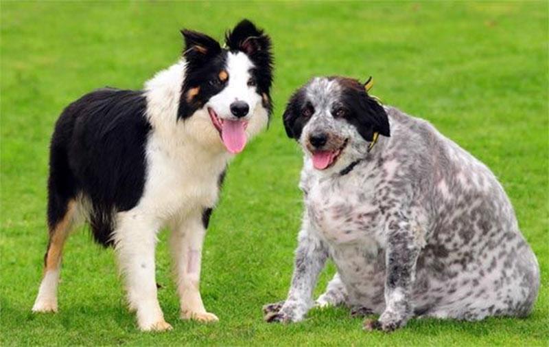Самые умные собаки — топ 50 по уму, обучаемости, фото лидеров по интеллекту