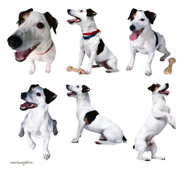 Джек рассел терьер собака. описание, особенности, виды, цена и уход за породой