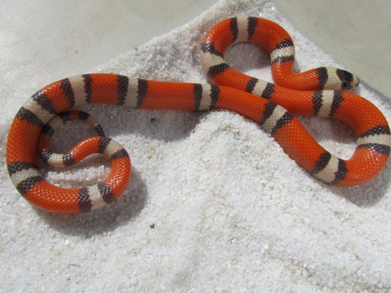 Домашние змеи: виды. уход и содержание