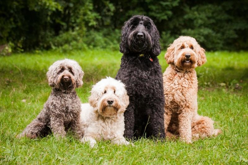 Лабрадудль: удивительный, но не признанный пес - интересное про собак