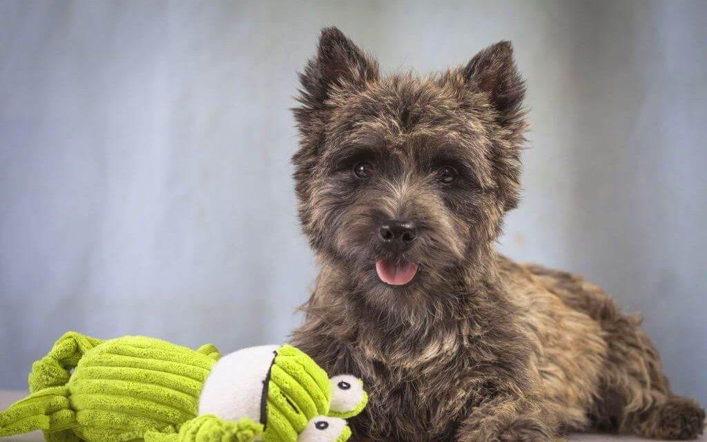 Керн терьер: 125 фото, размеры и особенности ухода за собакой