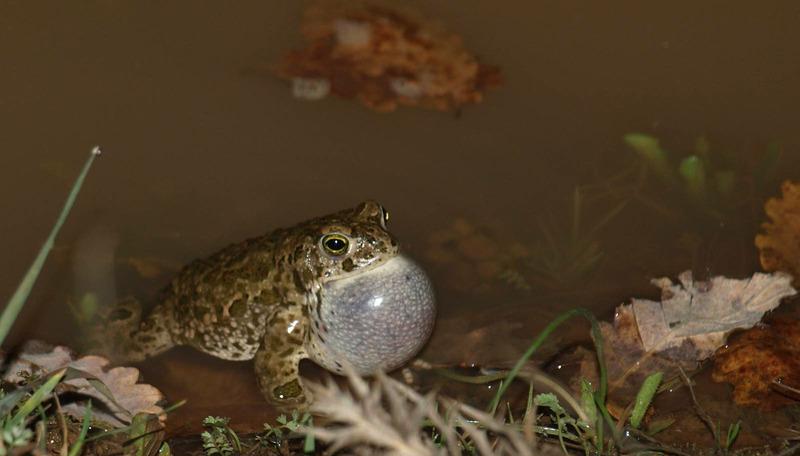 Обыкновенная серая жаба, или коровница