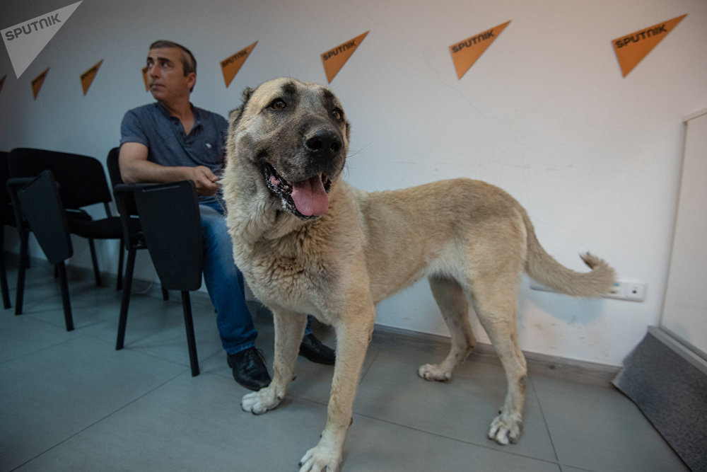 Гампр (армянский волкодав): описание породы с фото и видео