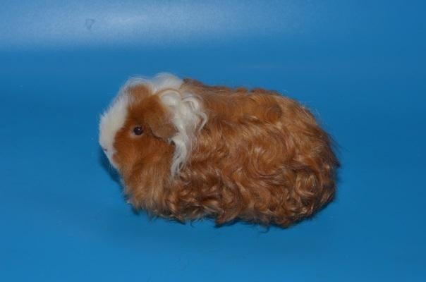Перуанская волосатая морская свинка: описание, цена, уход и содержание