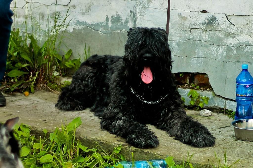 Характеристика собак породы русский черный терьер с отзывами и фото