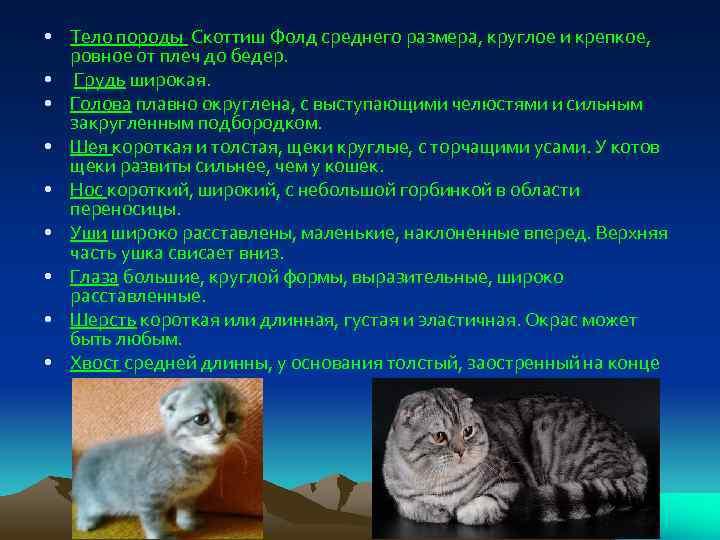 Скоттиш-фолд (шотландская вислоухая кошка): питомец сфермерским прошлым иповадками «царя квартиры»