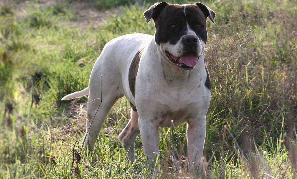 Гампр (армянский волкодав): характер, фото, стоимость и содержание собаки