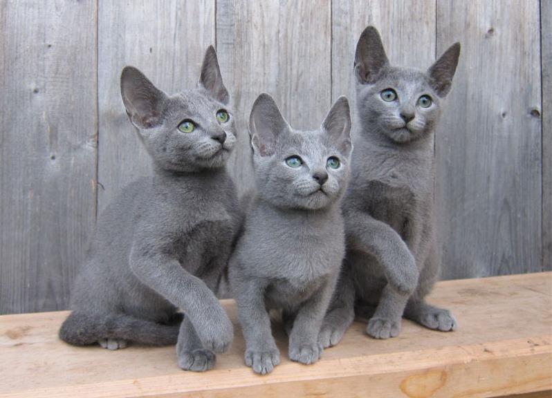 Порода кошек «русская голубая»: как содержать любимца петраi