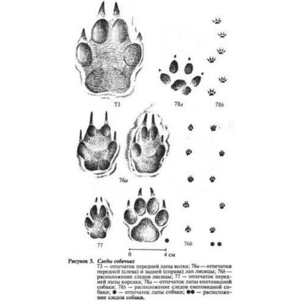 Следы волка и собаки на снегу: сравнение, отличие, фото, как правильно сравнить