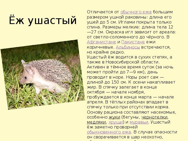 Ежи: описание животного, чем питаются, сколько живут и где