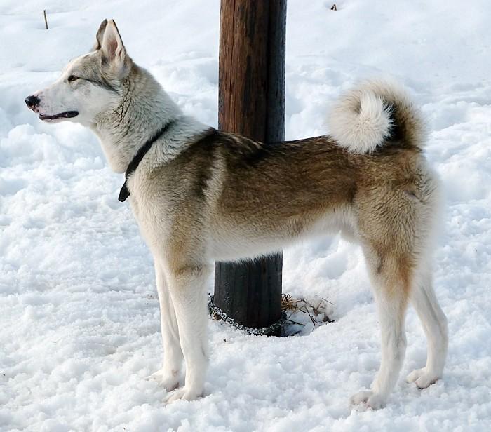 Западносибирская лайка — описание породы, плюсы, минусы и правила по уходу за собакой (90 фото)