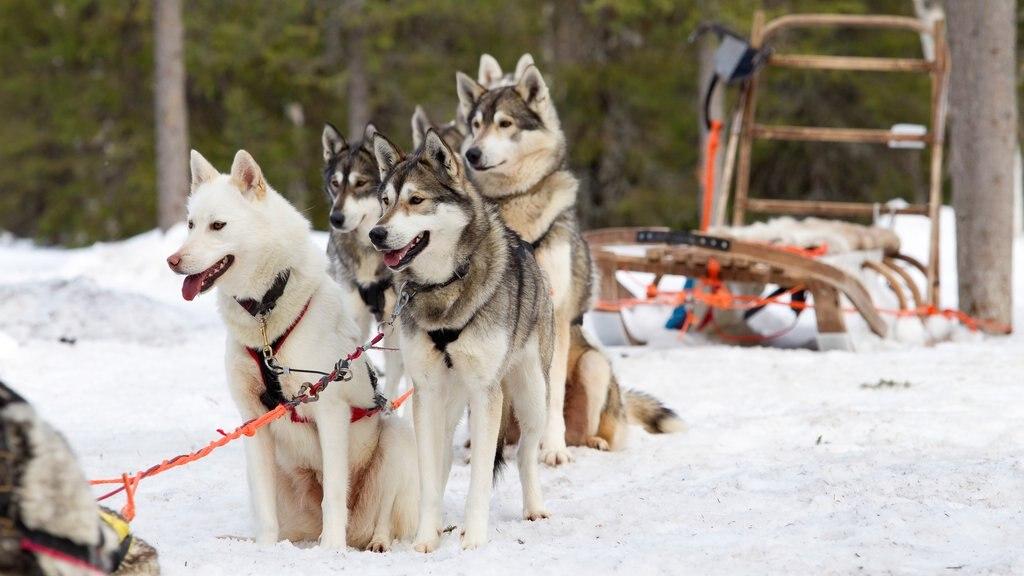 Аборигенные породы собак россии