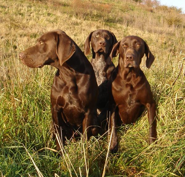 Курцхаар: фото и видео, полное описание породы собаки, цены