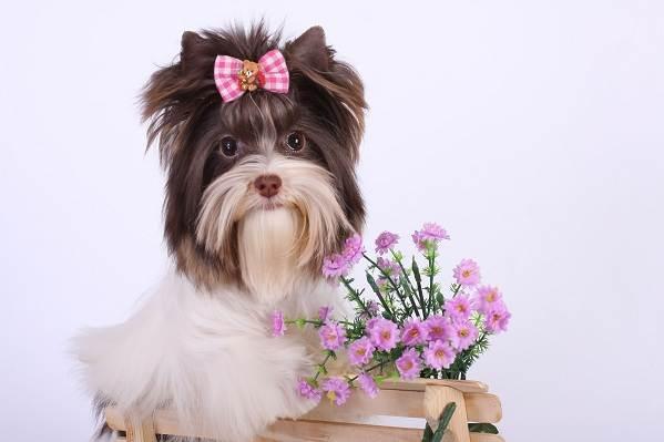 Бивер йоркширский терьер: фото и описание породы собак