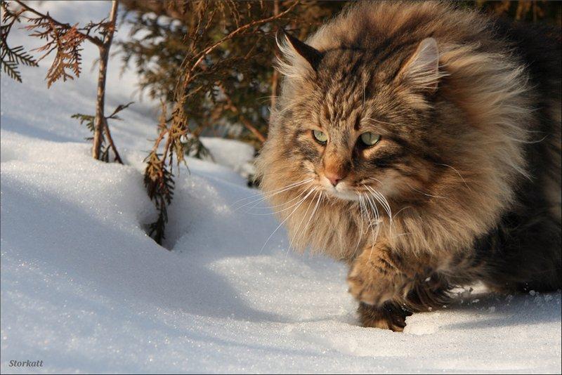 Финская лесная кошка описание породы