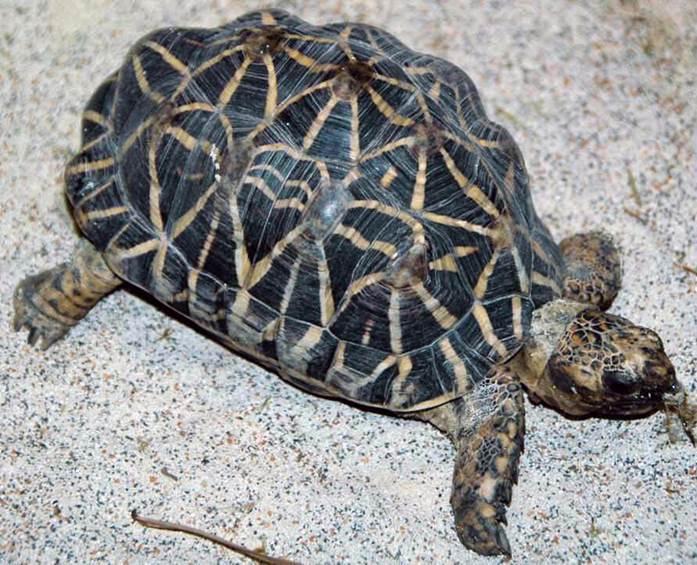 Индийская звездчатая черепаха в домашних условиях