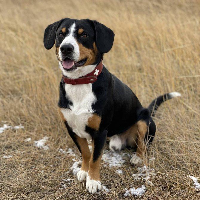 Бернский зенненхунд: все о собаке, фото, описание породы, характер, цена