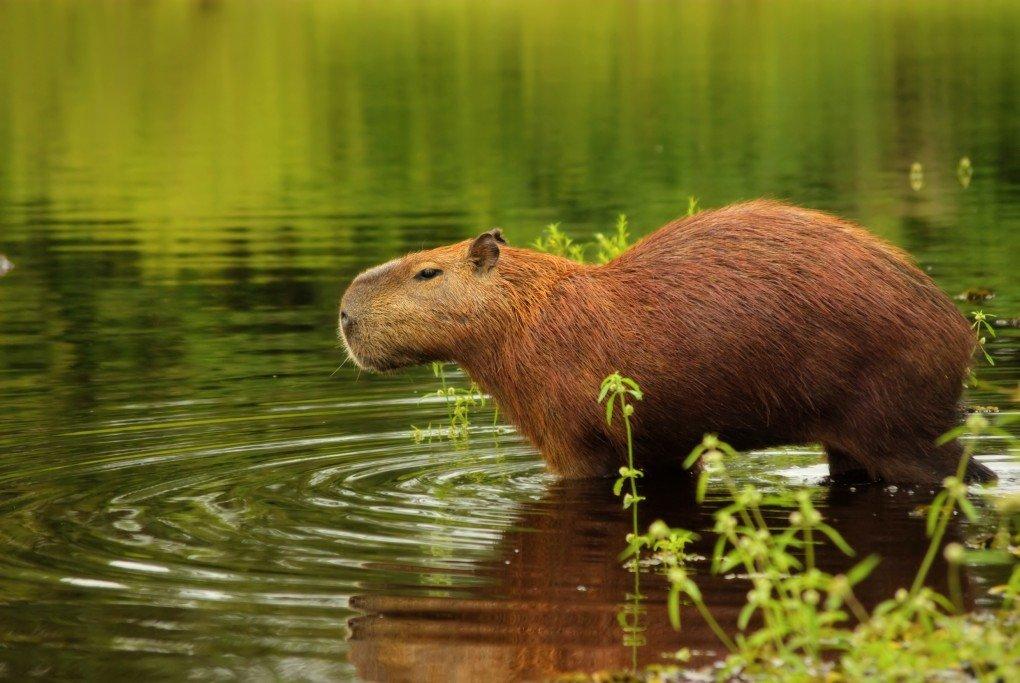 Капибары — фото животного, описание грызуна, места обитания, рацион питания и жизненный цикл животного