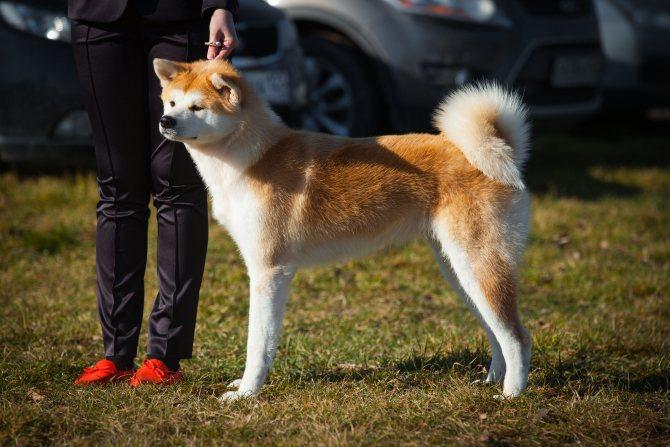 Акита-ину (японская акита) — порода собаки