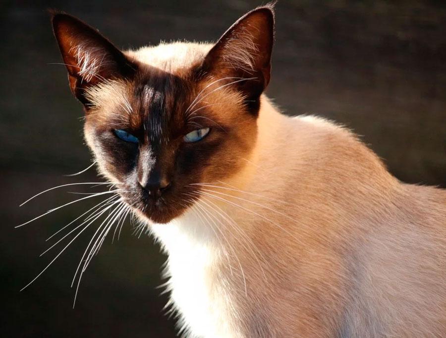 Сиамская порода кошек: описание, характер, фото, уход и содержание, чем кормить   zoosecrets
