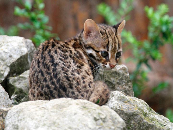 леопардовая кошка азиатская: описание породы, среда обитание, приручение. леопардовый кот
