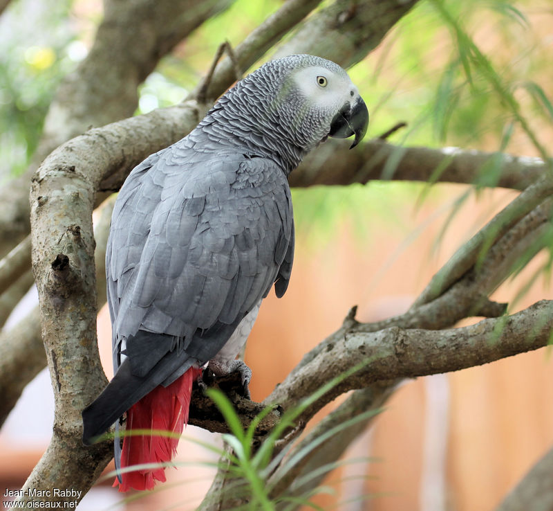 Попугай жако. цена жако. как ухаживать за попугаем жако