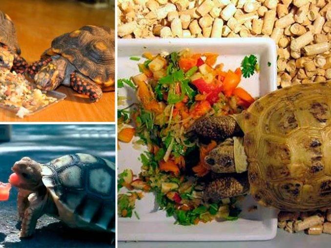 Корм для черепахи. чем кормить черепаху в домашних условиях :: syl.ru