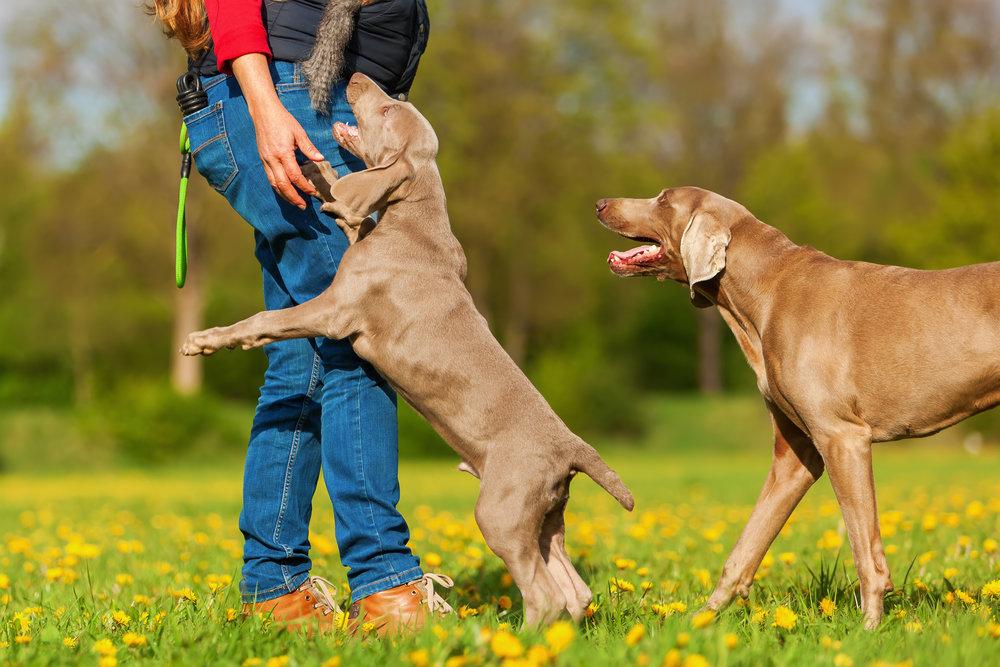 Как отучить щенка кусаться, хватать хозяина, беситься: эффективные способы