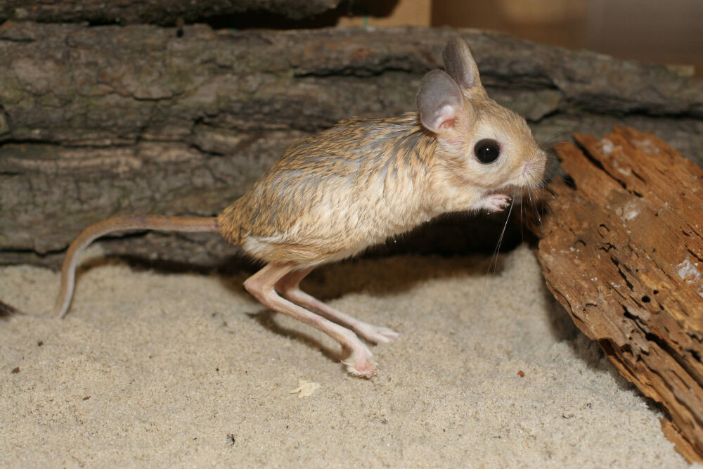 Жители пустыни тушканчики: разновидности и описание с картинками, образ жизни, питание и размножение