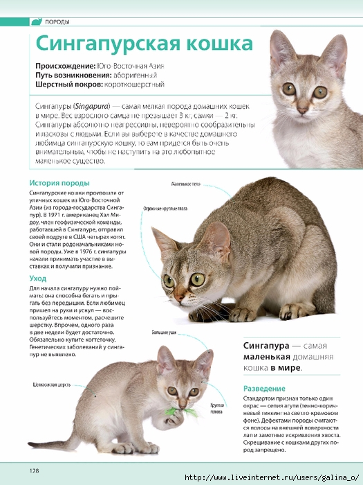 Сингапурская кошка: описание породы, фото, характер, поведение, отзывы владельцев