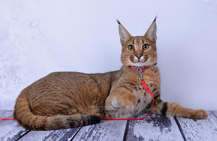 Порода кошек похожих на рысь