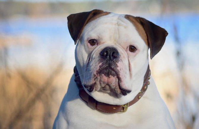 Американский бульдог собака. описание, особенности, уход и цена американского бульдога   sobakagav.ru