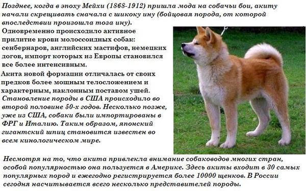 Какой породы была собака в фильме хатико — на какой цнцахики пес?