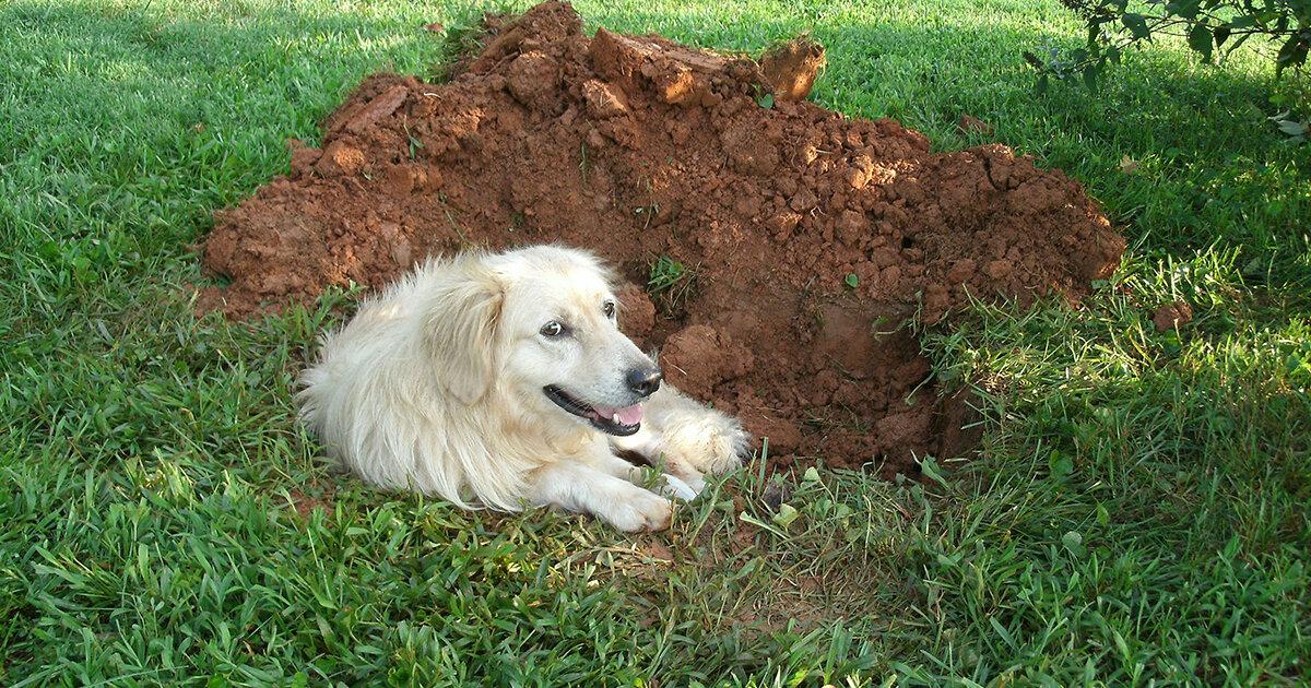 Причины рытья собакой ям во дворе: приметы, как отучить питомца от занятия