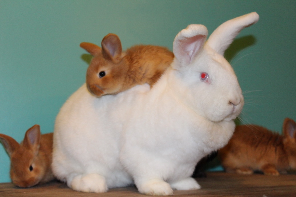 Новозеландские кролики: белый (нзб) и красный, описание